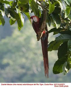 Scarlet Macaw A83571