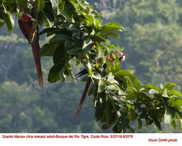 Scarlet Macaw A83576