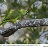 Yellow-naped Parrot A85319