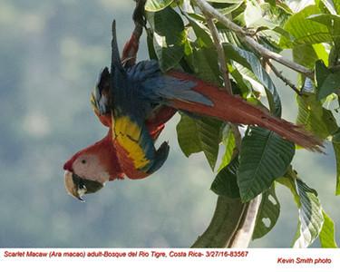 Scarlet Macaw A83567