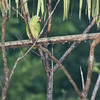 Red-lored Parrot A83467