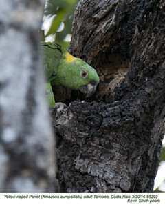 Yellow-naped Parrot A85292