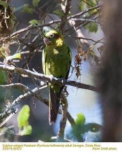 Sulphur-winged Parakeet A82573