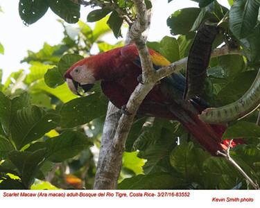 Scarlet Macaw A83552