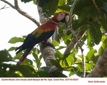 Scarlet Macaw A83537