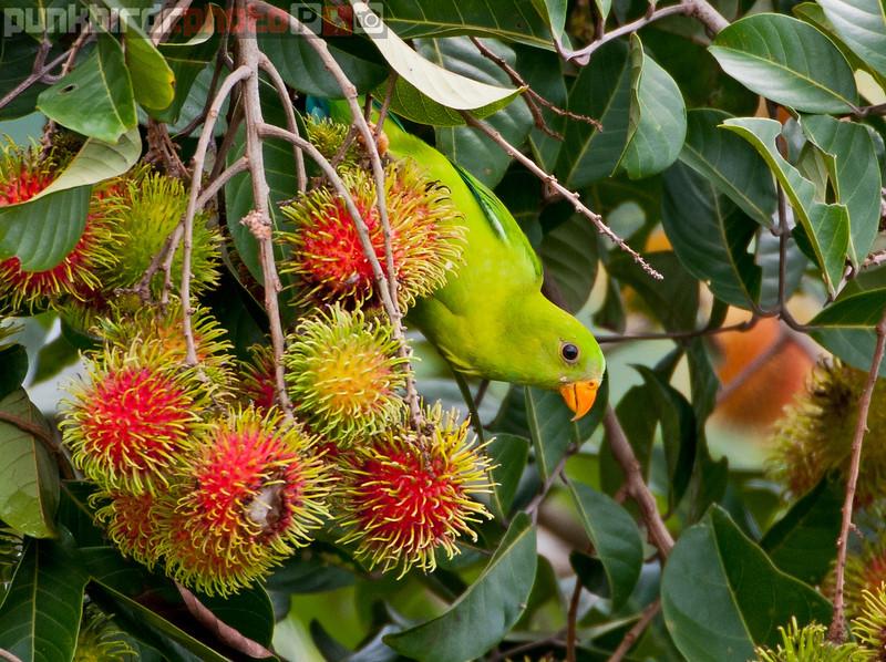 vernal hanging parrot (loriculus vernalis)