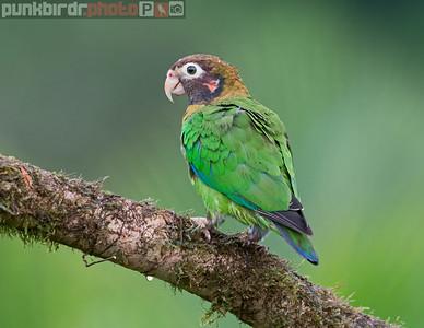 Brown-hooded Parrot (Pionopsitta haematotis)