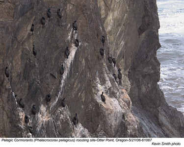 pelagicCormorants61087