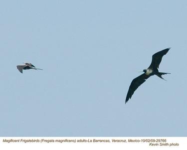 MagnificentFrigatebirdsA29766