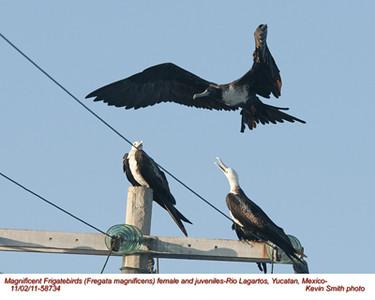 MagnificentFrigatebirdsF&J58734