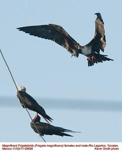 MagnificentFrigatebirds58696
