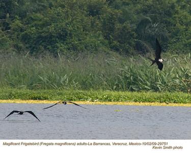 MagnificentFrigatebirdsA29751