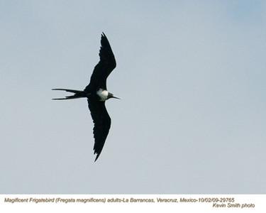 MagnificentFrigatebirdA29765