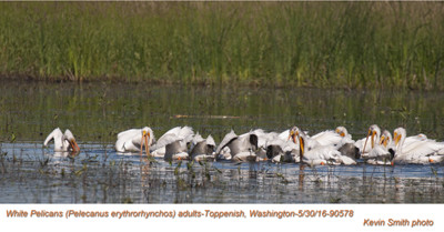 American White Pelicans A90578