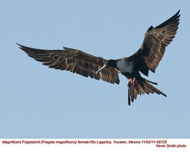 MagnificentFrigatebirdF58725