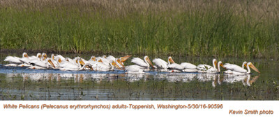 American White Pelicans A90596
