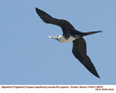 MagnificentFrigatebirdJ59572
