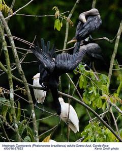 Neotropic Cormorants A87853