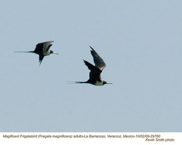 MagnificentFrigatebirdsA29760