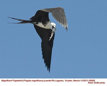 MagnificentFrigatebirdJ59568