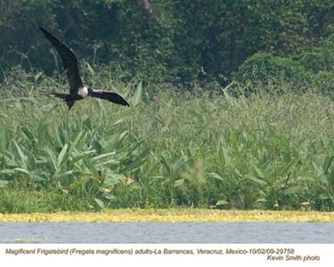 MagnificentFrigatebirdsA29758