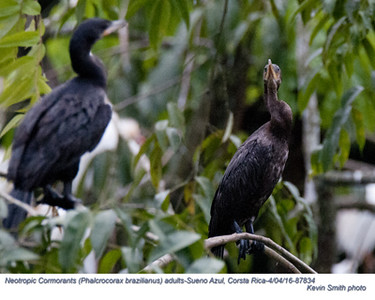 Neotropic Cormorants A87834