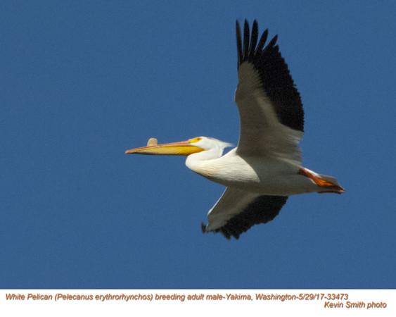 White Pelican M33473