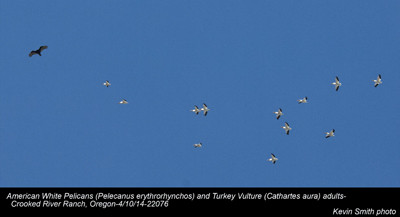American White Pelicans & Turkey Vulture A 22076