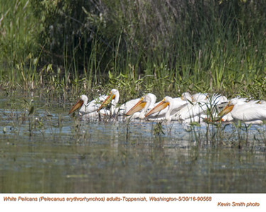 American White Pelicans A90568