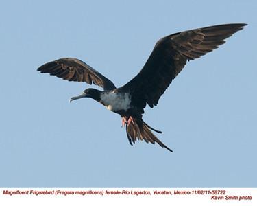 MagnificentFrigatebirdF58722