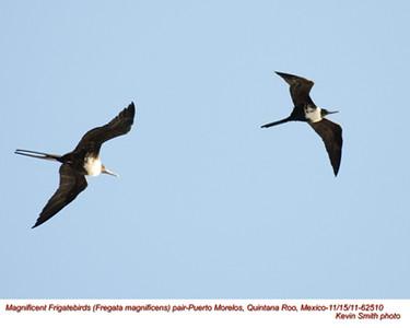 MagnificentFrigatebirds62510