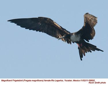 MagnificentFrigatebirdF58692