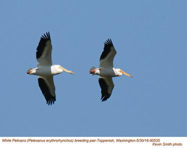 American White Pelicans P90535