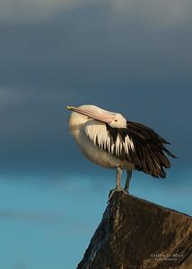 Australian Pelican, Wollongong Pelagic, NSW, Aus, Aug 2014