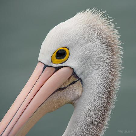 Australian Pelican, Wollongong Harbour, NSW, Aus, Oct 2014
