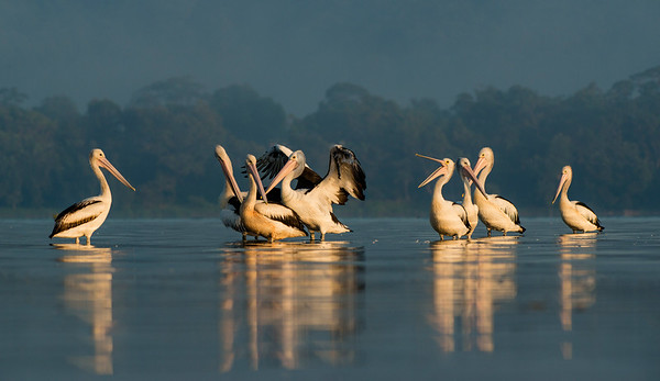 Australian Pelicans, Shoalhaven Heads, NSW, March 2013-1