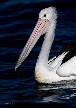 Australian Pelican, Wollongong, NSW, Oct 2009