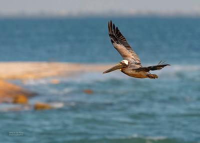 Brown Pelican, Fort De Soto, St Petersburg, FL, USA, May 2018-3