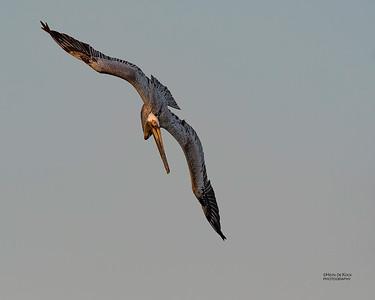 Brown Pelican, Fort De Soto, St Petersburg, FL, USA, May 2018-5