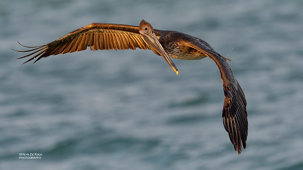 Brown Pelican, juv, Fort De Soto, St Petersburg, FL, USA, May 2018-4
