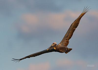 Brown Pelican, Fort De Soto, St Petersburg, FL, USA, May 2018-4