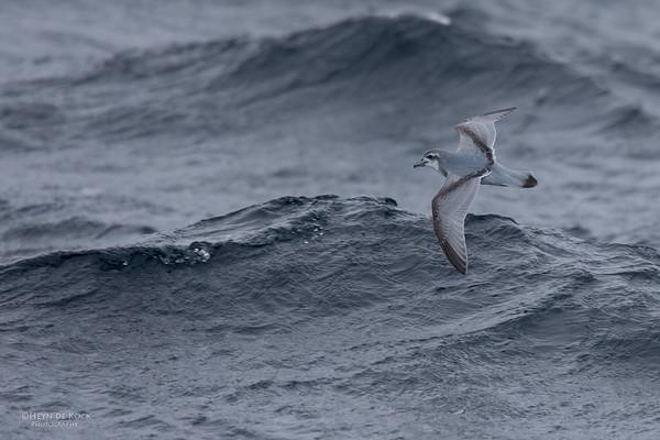 Antarctic Prion, Eaglehawk Neck Pelagic, TAS, Aus, Sept 2016