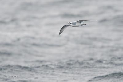Anarctic Prion, Eaglehawk Neck Pelagic, TAS, Sept 2016-2