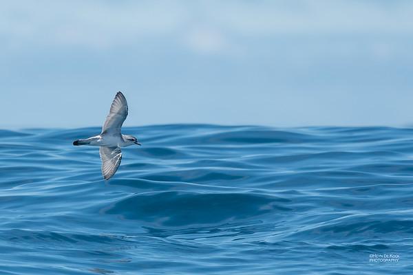 Antarctic Prion, Eaglehawk Neck Pelagic, TAS, Dec 2019-1