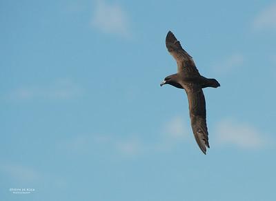 Black Petrel, Wollongong Pelagic, Nov 2013-5
