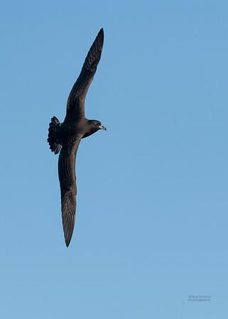 Black Petrel, SE QLD Seamounts, Oct 2020-6