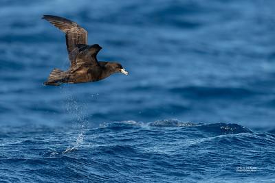 Black Petrel, SE QLD Seamounts, Oct 2020-1