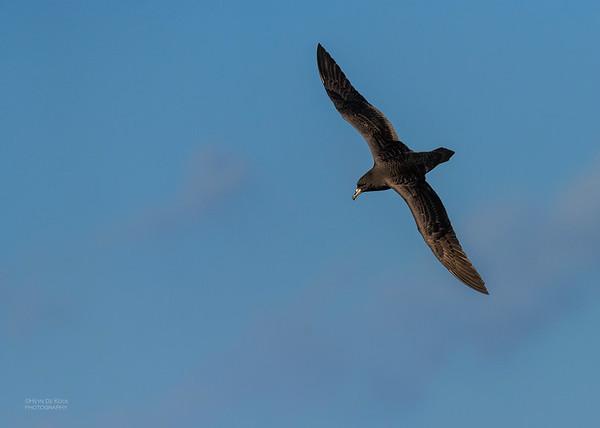 Black Petrel, SE QLD Seamounts, Oct 2020-5