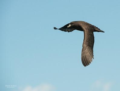 Black Petrel, Wollongong Pelagic, Nov 2013