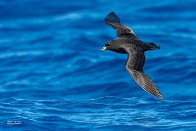 Black Petrel, SE QLD Seamounts, Oct 2020-4
